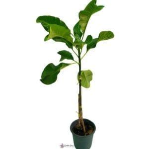 Plumeria Rubra (1) - ©Gardensouq.com™